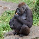 Cibo adulto della gorilla Fotografia Stock Libera da Diritti