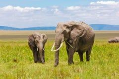 Cibo adulto e giovane degli elefanti Immagini Stock