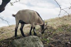 Cibo in bianco e nero della capra Immagine Stock Libera da Diritti