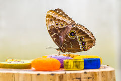 Cibo blu della farfalla di Morpho Immagine Stock Libera da Diritti