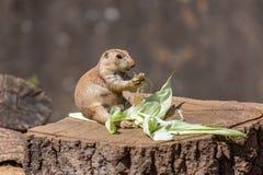 Cibo con coda nera di Sat della marmotta fotografia stock libera da diritti