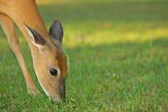 Cibo dei cervi di Whitetail Fotografie Stock Libere da Diritti