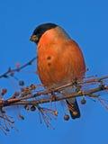 Cibo del Bullfinch sull'albero Immagine Stock Libera da Diritti