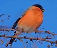 Cibo del Bullfinch sull'albero Fotografia Stock Libera da Diritti