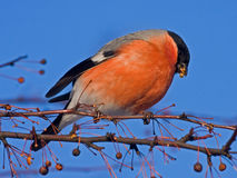 Cibo del Bullfinch sull'albero Fotografie Stock