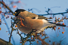 Cibo del Bullfinch sull'albero Immagine Stock