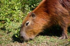 Cibo del Capybara fotografie stock