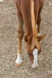 Cibo del cavallo Immagini Stock Libere da Diritti