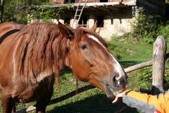 Cibo del cavallo Fotografie Stock Libere da Diritti