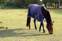 Cibo del cavallo Fotografia Stock Libera da Diritti