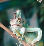 Cibo del chameleon Immagine Stock Libera da Diritti