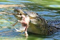 Cibo del coccodrillo Immagine Stock