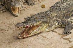 Cibo del coccodrillo Fotografie Stock Libere da Diritti