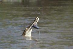 Cibo del coccodrillo Fotografie Stock