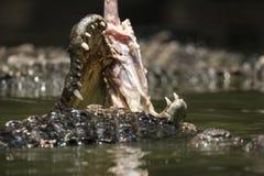Cibo del coccodrillo nel fiume Fotografie Stock Libere da Diritti