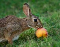 Cibo del coniglio di silvilago Fotografia Stock