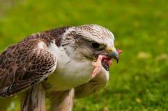 Cibo del falco di Saker Immagini Stock Libere da Diritti