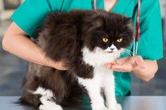 Cibo del gatto persiano Fotografia Stock