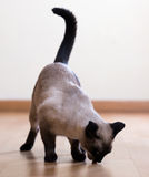 Cibo del gatto siamese adulto Immagini Stock