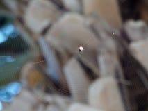 Cibo del globo coperto di spine Weaver Spider Immagine Stock