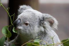 Cibo del Koala Fotografie Stock