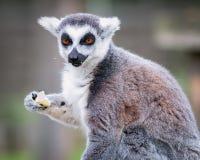 cibo del lemur Fotografie Stock