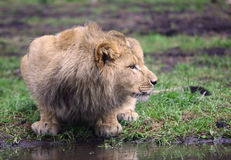 Cibo del leone Immagini Stock