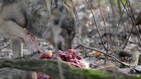 Cibo del lupo grigio nella foresta stock footage