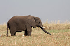 cibo del maschio dell'elefante Fotografia Stock Libera da Diritti