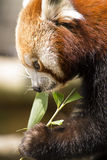 Cibo del panda minore Fotografia Stock
