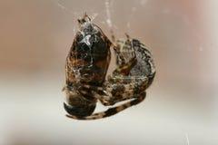 Cibo del ragno Immagine Stock Libera da Diritti