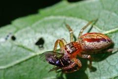 Cibo del ragno Fotografia Stock