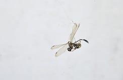 Cibo del ragno Immagine Stock