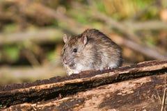 Cibo del ratto di Brown Fotografie Stock Libere da Diritti