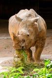 Cibo del rinoceronte bianco Fotografia Stock Libera da Diritti