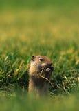 cibo del uinta dello scoiattolo a terra Fotografie Stock Libere da Diritti