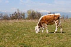 Cibo del vitello fotografie stock
