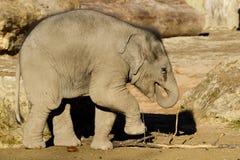 Cibo del vitello dell'elefante Fotografia Stock Libera da Diritti