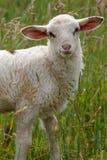 Cibo dell'agnello fotografia stock libera da diritti