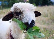 Cibo dell'agnello Fotografia Stock