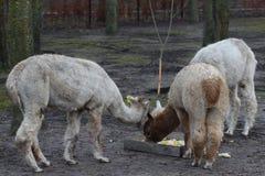 Cibo dell'alpaca del gruppo Immagini Stock Libere da Diritti