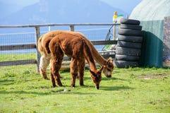 Cibo dell'alpaca di Brown Fotografia Stock Libera da Diritti