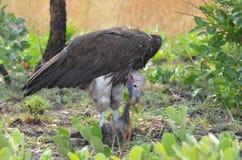 Cibo dell'avvoltoio Immagine Stock