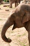 Cibo dell'elefante asiatico, asiatico, indiano Fotografie Stock