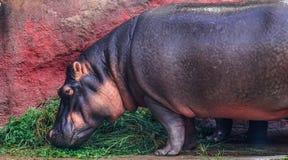Cibo dell'ippopotamo fotografia stock