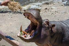 Cibo dell'ippopotamo Immagine Stock