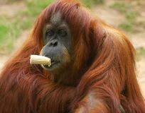 Cibo dell'orangutan Fotografia Stock Libera da Diritti