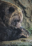 Cibo dell'orso bruno Fotografia Stock Libera da Diritti