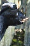 Cibo della capra Fotografie Stock Libere da Diritti