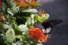 Cibo della farfalla immagine stock